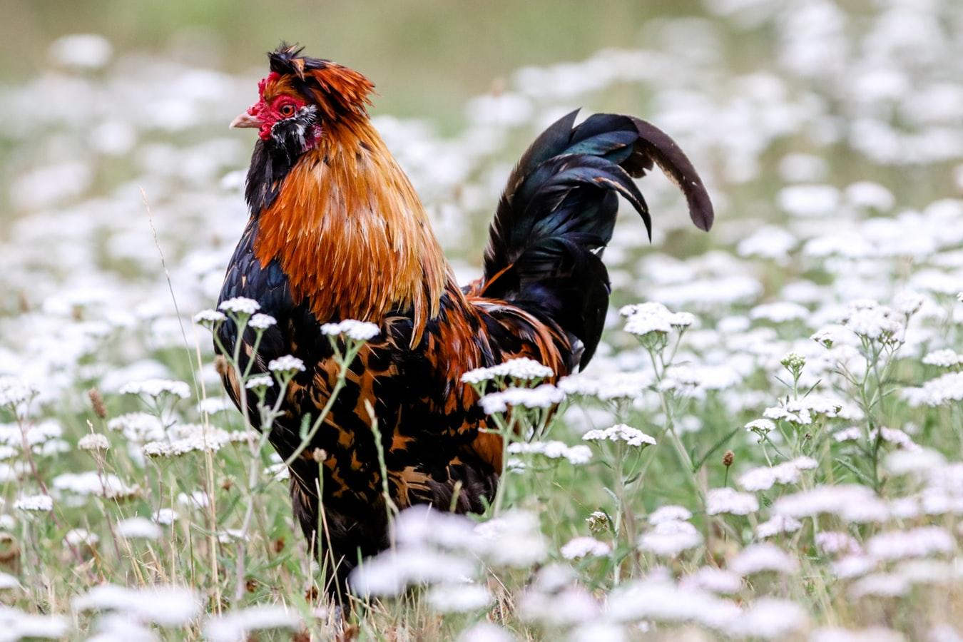 Tips Menang Judi Di S128 Sabung Ayam Online