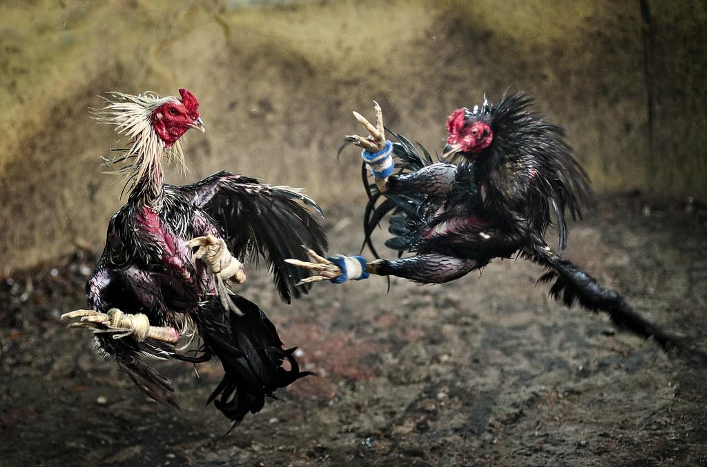 Fungsi Agen dalam Permainan Judi Sabung Ayam S1288 Online