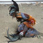 Menemukan Website Judi Sabung Ayam Online Aman