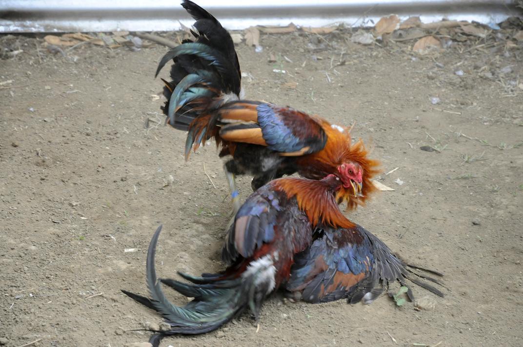 Menemukan Website Judi Sabung Ayam Online Aman 100%